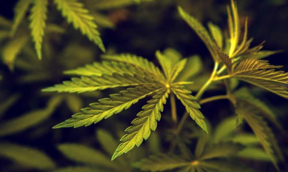 Is Marijuana a Hallucinogen?