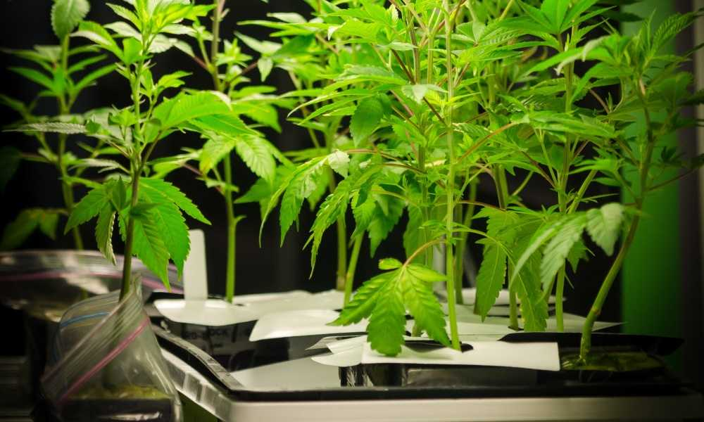 Best Grow Tents for Cannabis