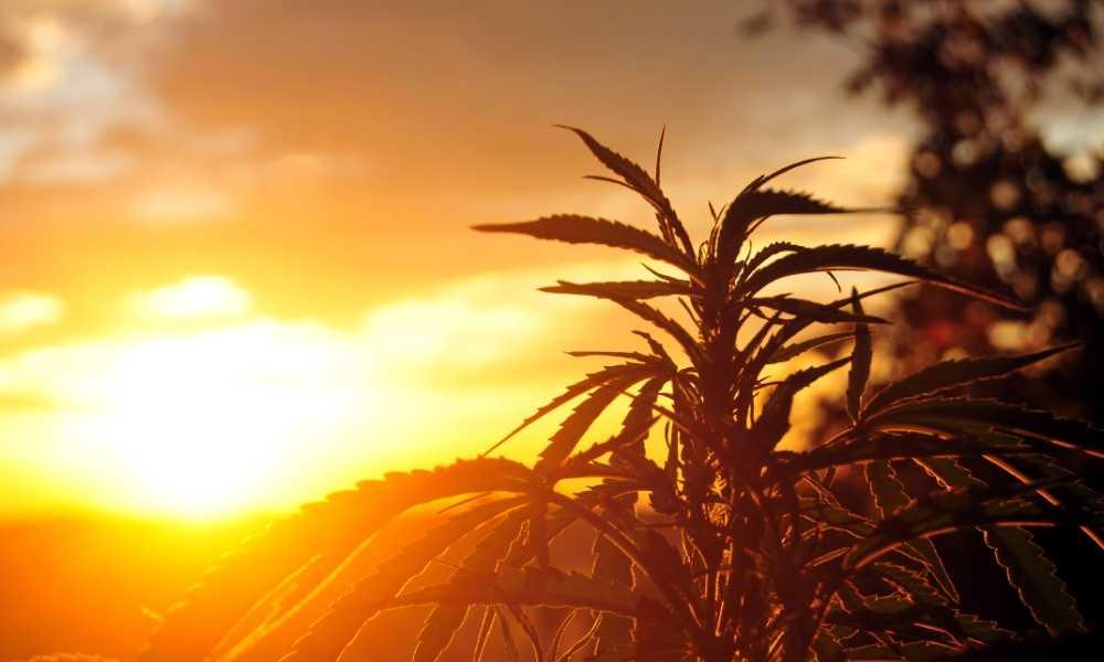 Natural Sunlight vs Grow Lights