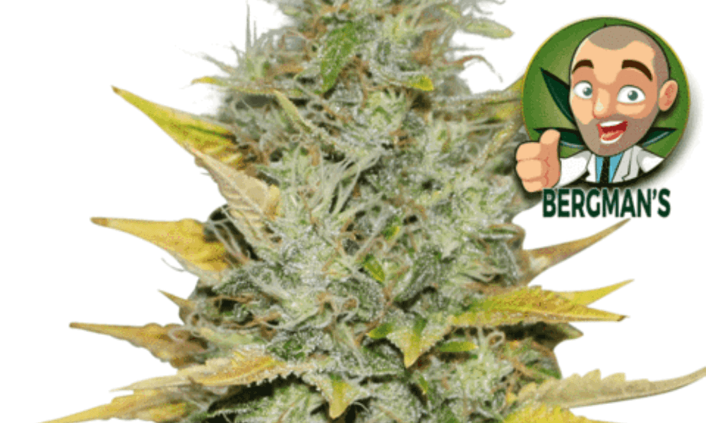 Bergman's Gold Leaf (Fem) Best Weed Seeds for Euphoria