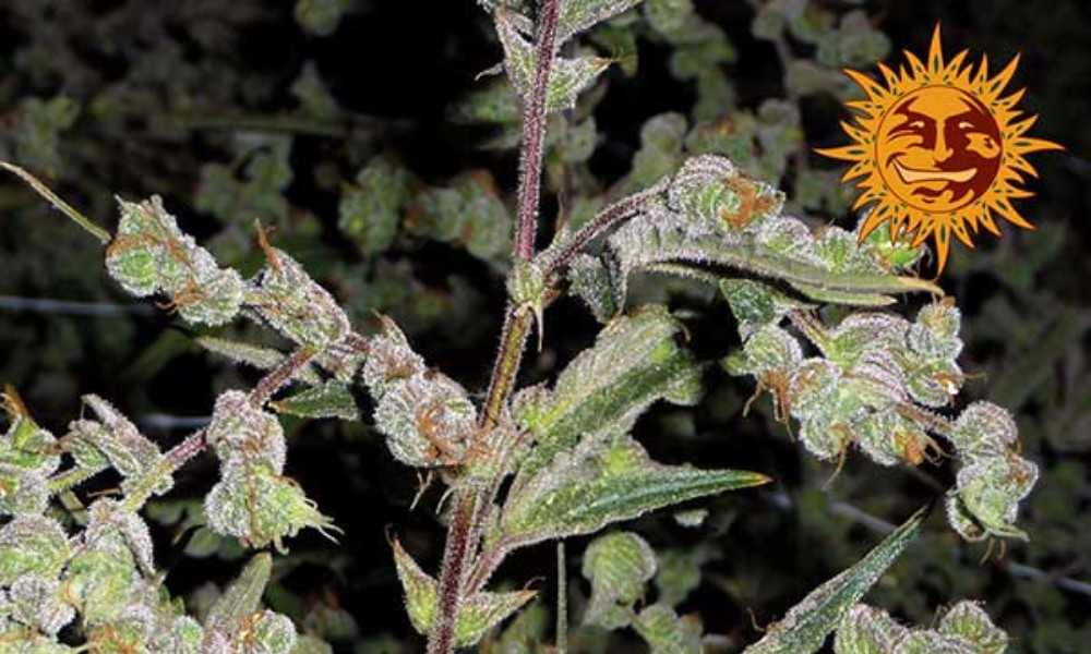 Dr. Grinspoon (Fem) Best Weed Seeds for Energetic Highs