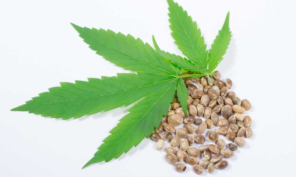 cannabis Seeds with hemp leaf