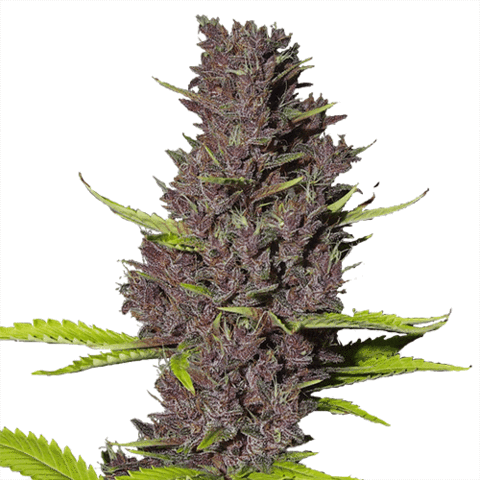 https://themarijuanavape.com/wp-content/uploads/2019/03/blue-dream-seeds_large.png