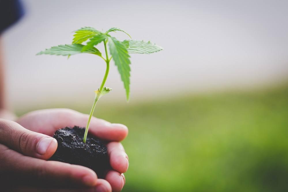 holding cannabis plant