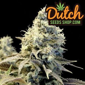Grand-Daddy-Purple-Feminized-Seeds-10-seeds