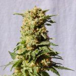 Kosher-Kush-Feminized-Marijuana-Seeds-300x300