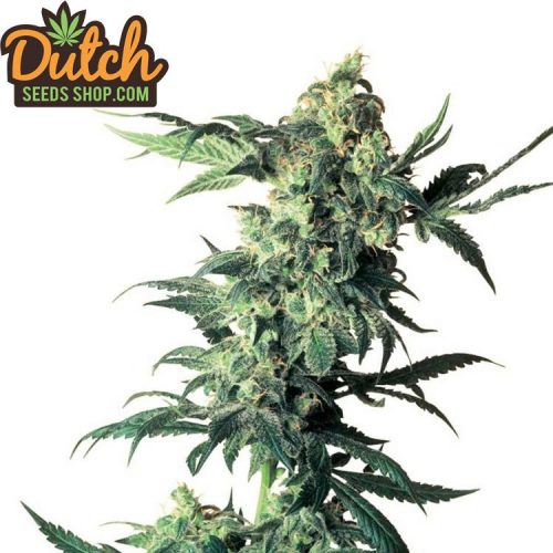 Northern-Light-20-seeds