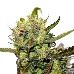 Remedy-CBD-Feminized-Marijuana-Seeds-PacificSeedBank
