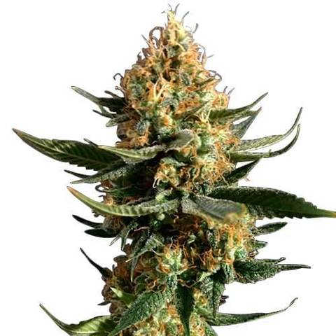 chemdawg-seeds-fem_large