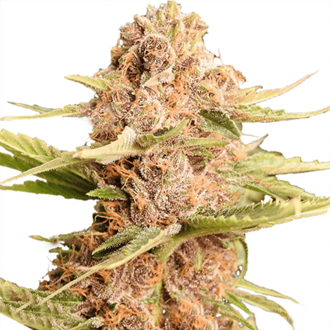 girl-scout-cookies-extreme-seeds_large